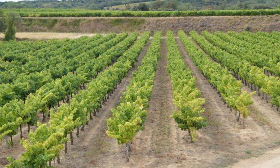 Vignes Mas Meyrieux en terrasses